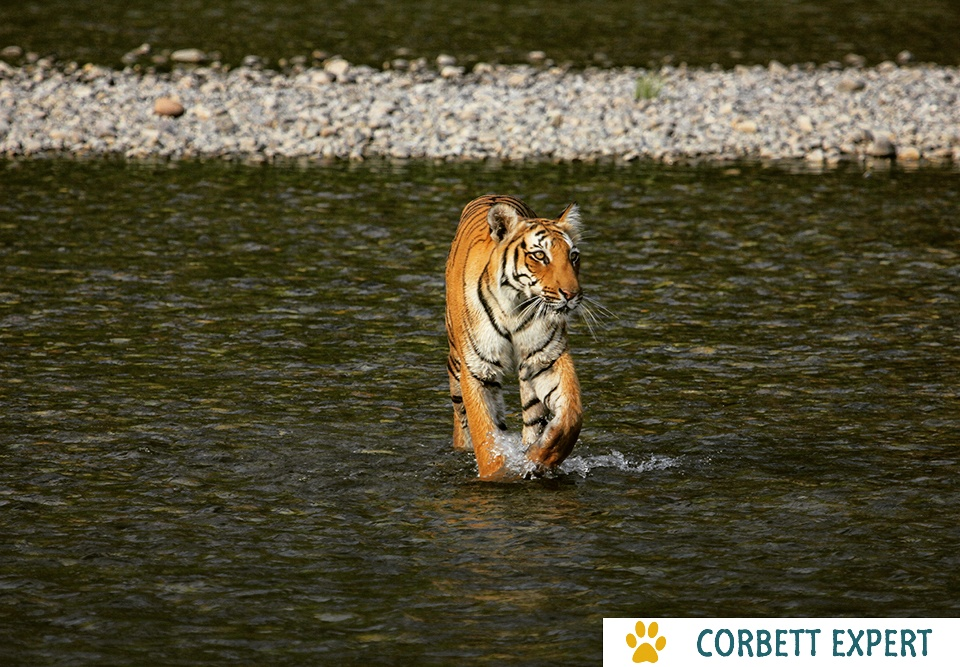 jim corbett tiger